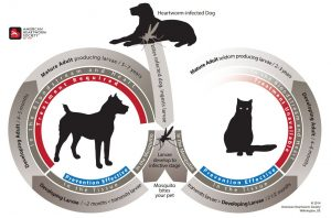 The life cycle of heartworms in dogs and cats is shown in this diagram. It is important to prevent the disease.