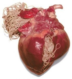 Heartworms in a heart specimen. Multiple worms are shown in the right ventricle and pulmonary artery