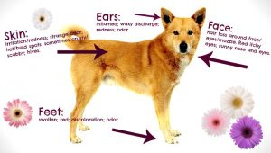 Diagram of a dog showing the physical effects of seasonal allergies or atopy