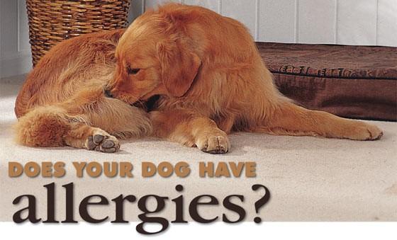 Seasonal Allergies in Your Dog - dupontvet com | Dupont