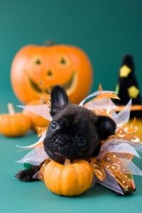 Pug puppy chewing on gourd