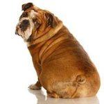 Bulldog sitting looking at camera