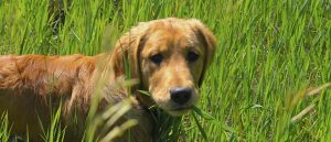 Retriever standing eating grass