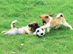 2 Puppies Playing With Soccer Ball