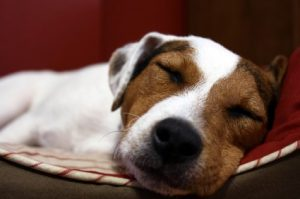 Brown and White Dog Sleeping