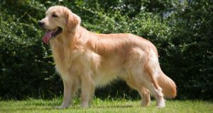 Beautiful Golden Retriever standing