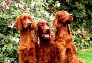 Three pretty Irish Setter dogs
