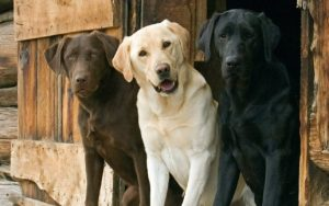 Three cute Labrador Retrievers sitting