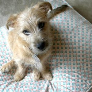 Cute mixed breed dog on a pillow