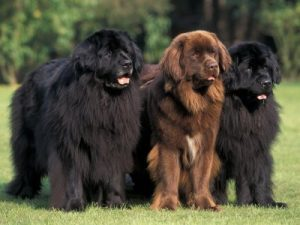 Three Newfoundland dogs standing in a row