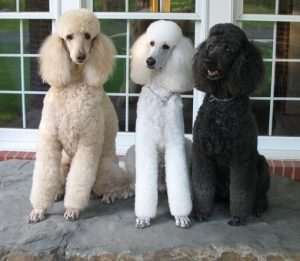 Three Standard Poodles Sitting Attentatively
