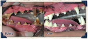 Before and after photo of dog's teeth