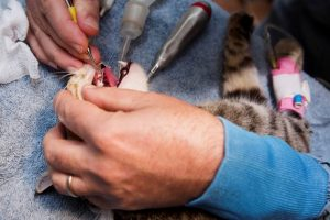 Performing a feline dental procedure