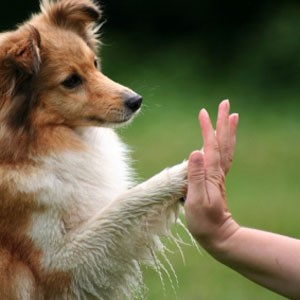 "Collie dog ""high fiving"" a person's hand"