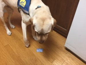 Service dog looking at credit card on floor