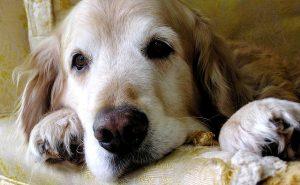 Geriatric Golden Retriever lying on couch
