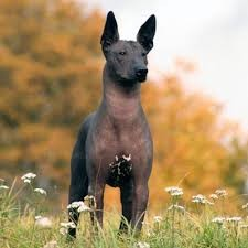Mexican Hairless Dog standing outside