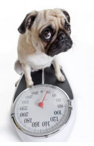 Pug standing on scale