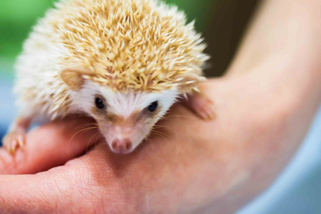 A Hedgehog Being Held