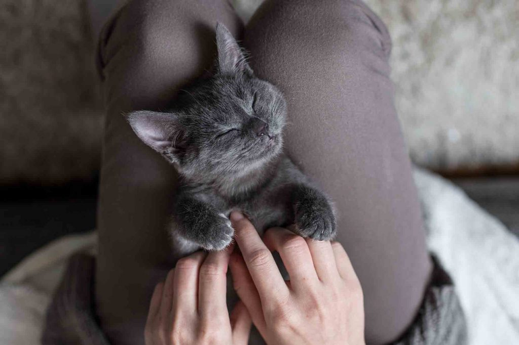 Cute Kitten Being Pet In A Human's Lap