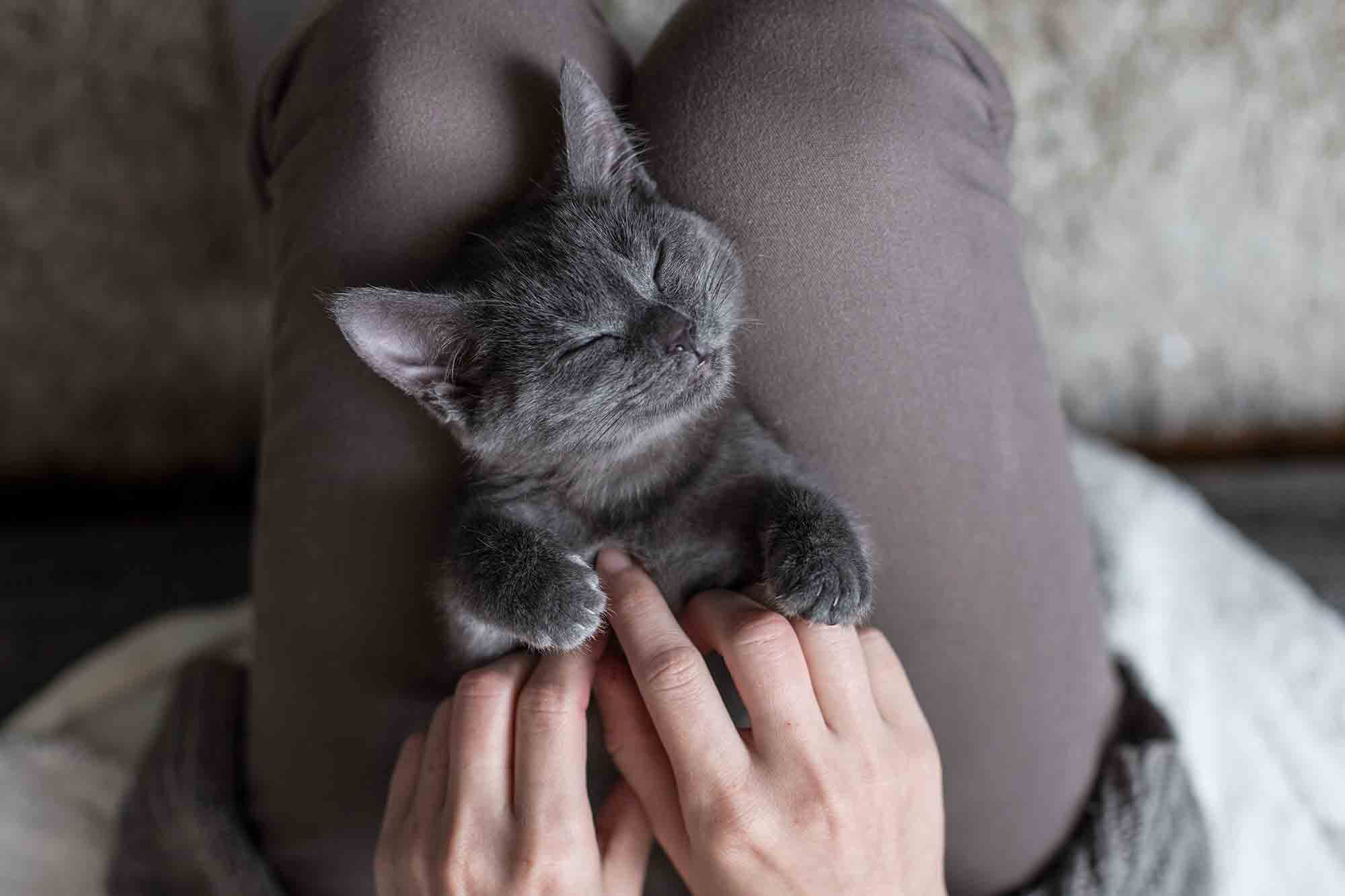 Relaxed And Happy Cat Laying In A Human's Lap