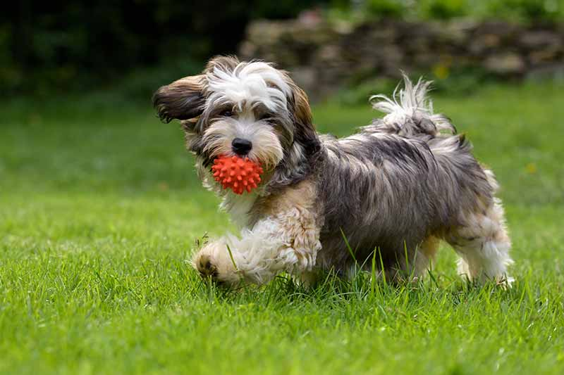 Dog Running Through Grass With Ball In Mouth