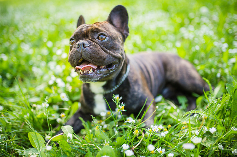 Purebred Dog French Bulldog laying in flowers
